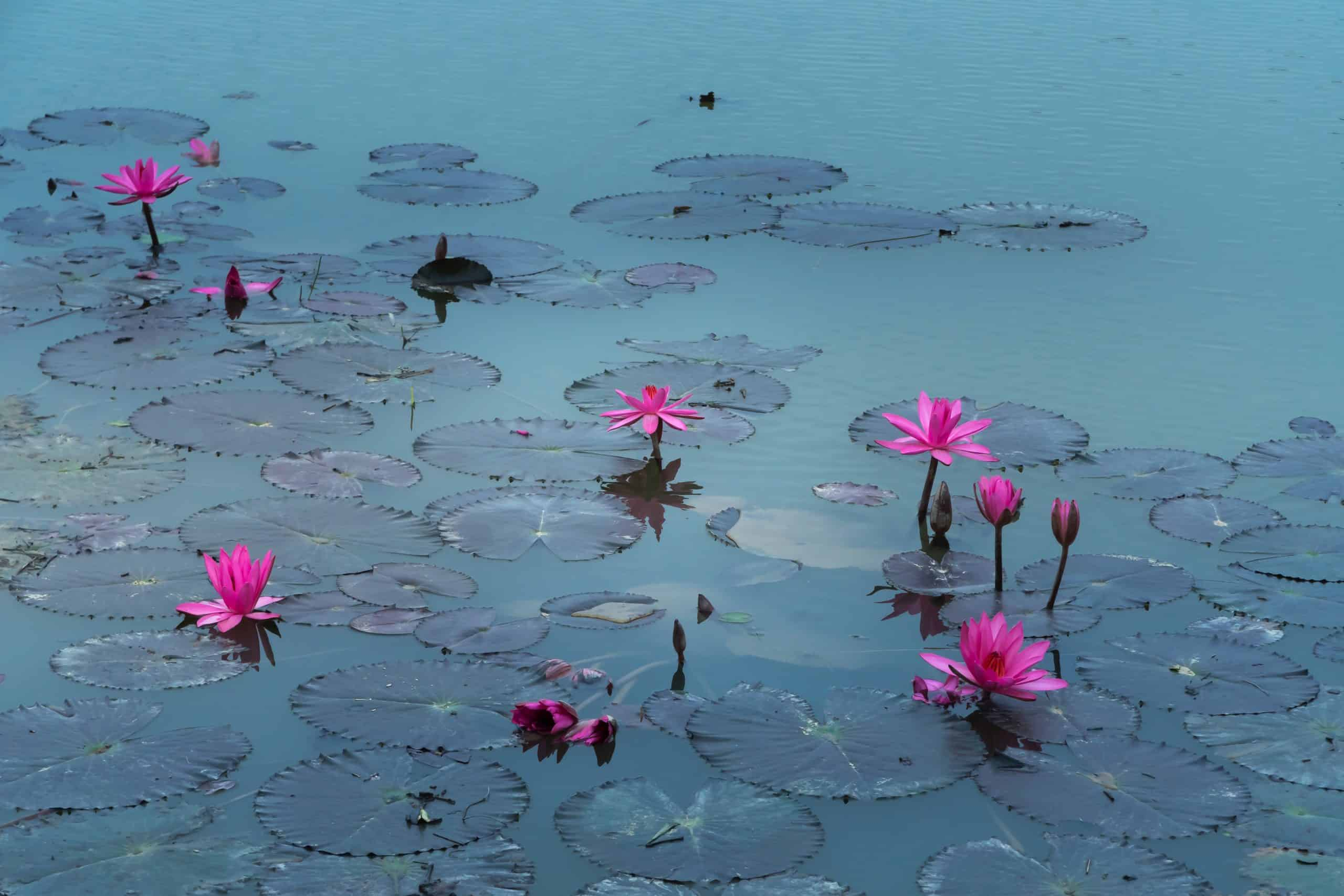 How To Take Care Of Water Lily Plants