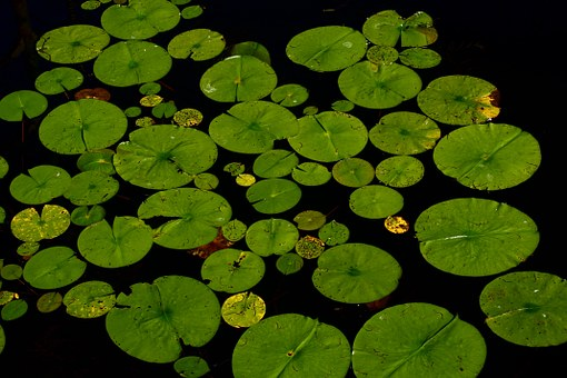 Water Plants For Beautifying Water Bodies