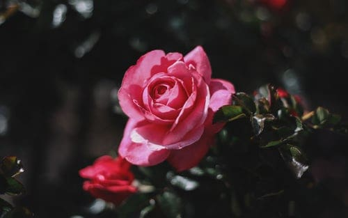 4 Amazing Tips On Putting Up A Rose Garden