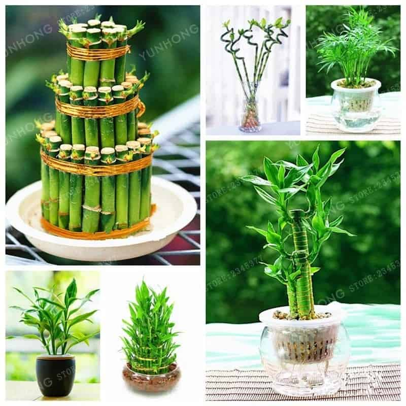 Indoor Ornamental Plants: Lucky Bamboo Plant