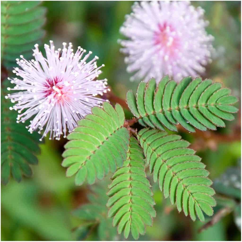 Mimosa Pudica Plant Seeds