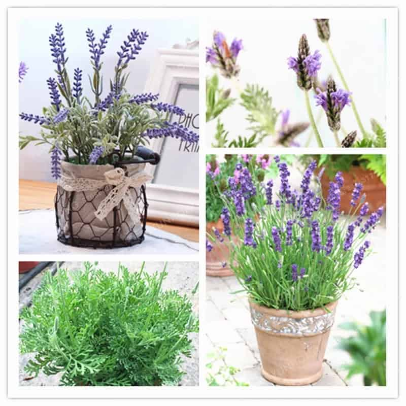 Flowering Plants: French Lavender Seeds