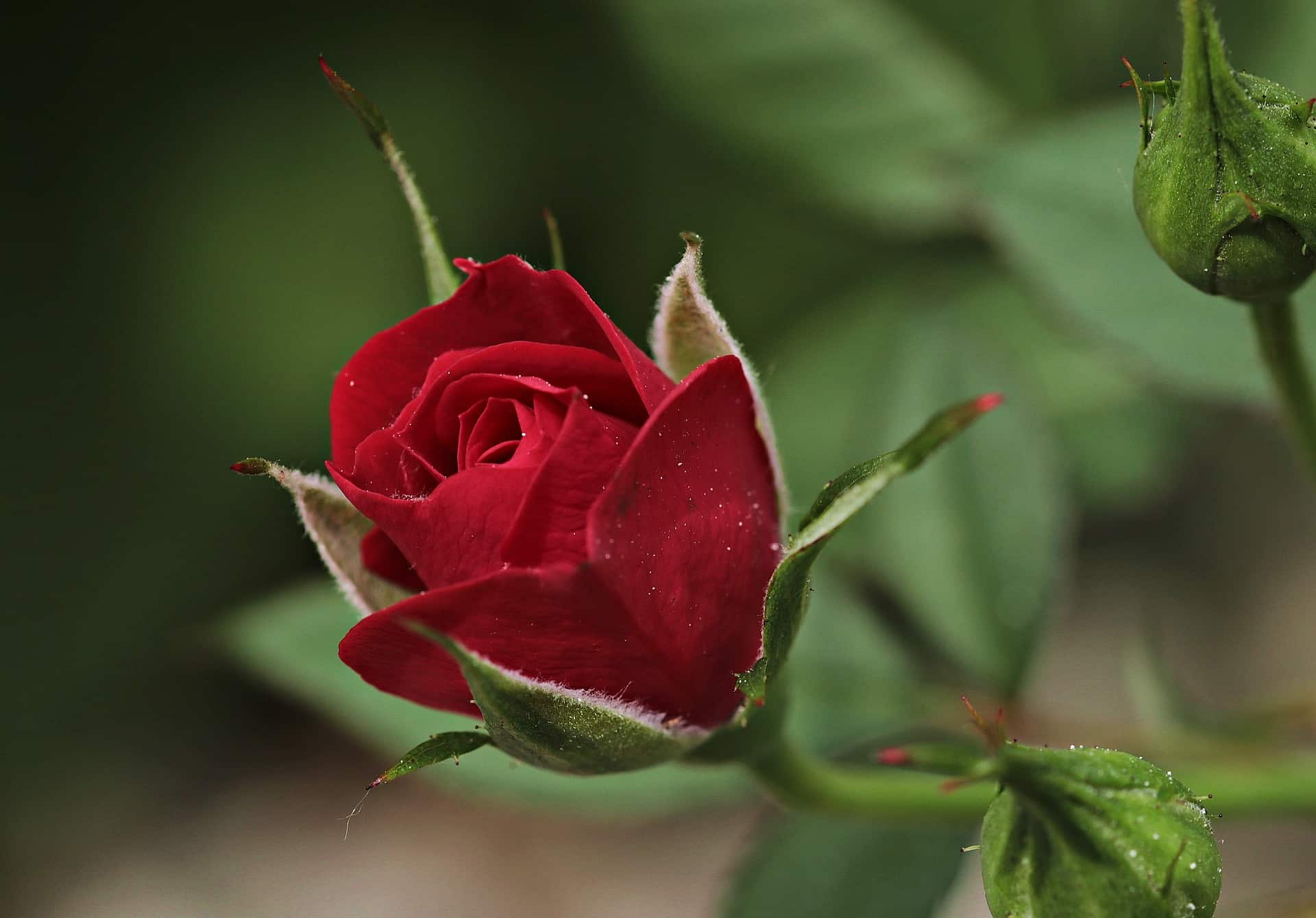 How To Prune Overgrown Rose Bushes