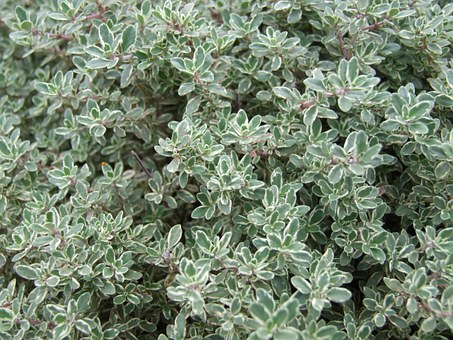 Tips For Growing Thyme: Gardening Tips You Should Know