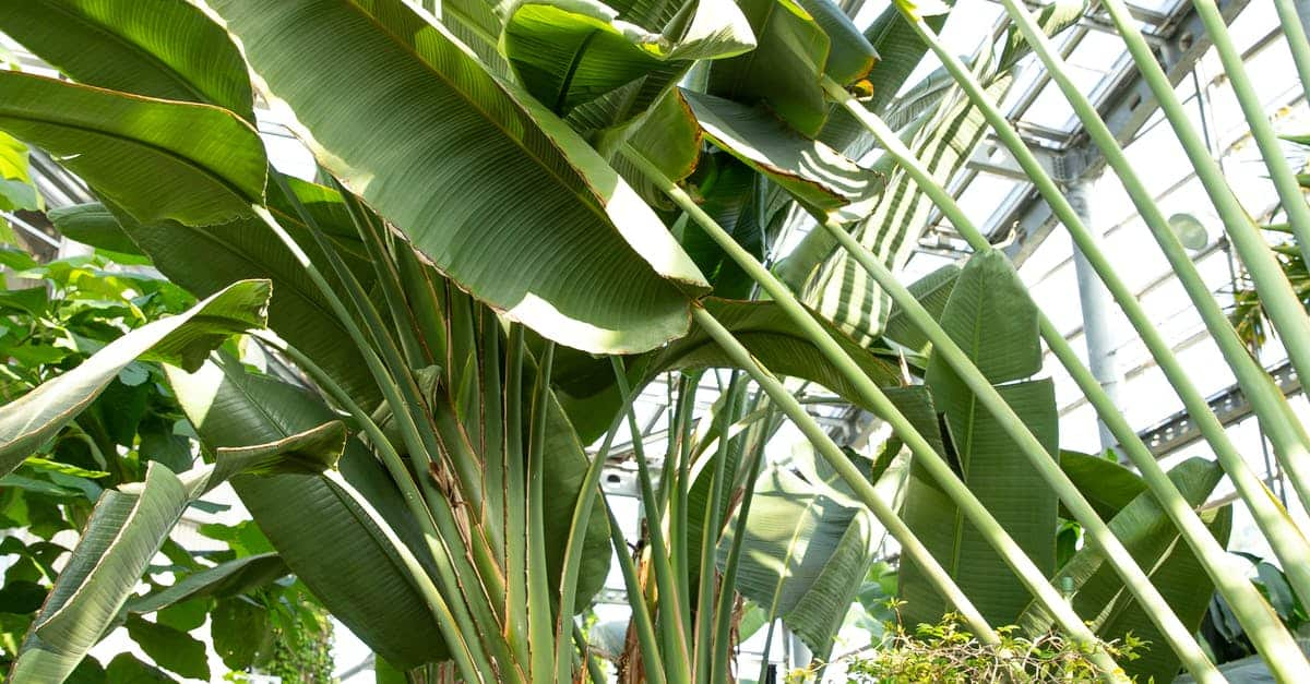 A banana tree with green leaves